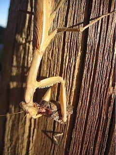 Praying mantis eating a shield bug